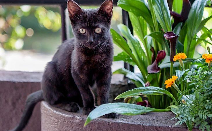 Chat Bombay assis à côté des plantes
