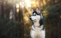 Husky sibérien en premier plan dans la forêt