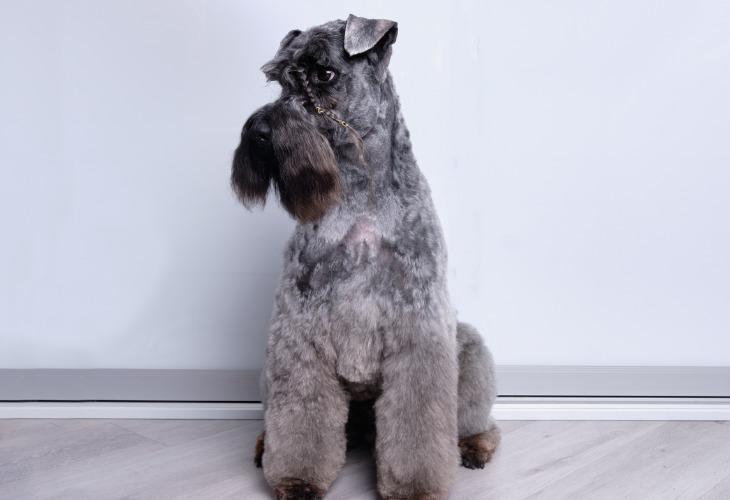 Le terrier Kerry Blue est l'une des races de chiens hypoallergénique.