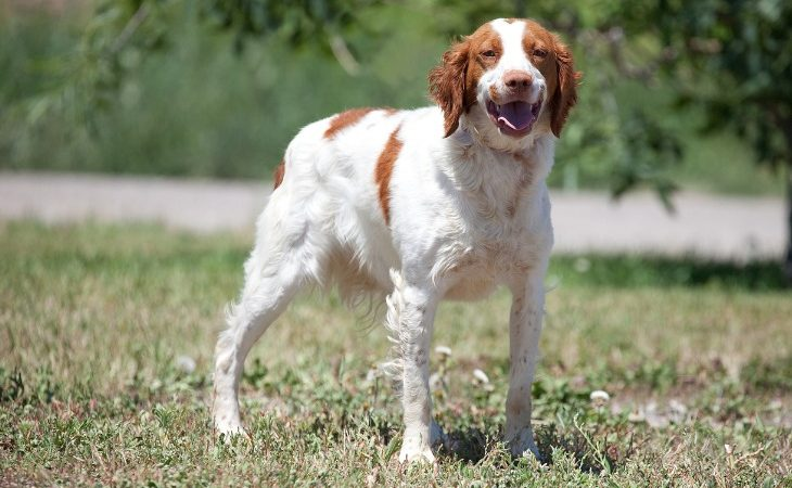 Epagneul breton chien de chasse