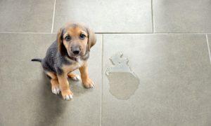 Comment apprendre à votre chien à faire ses besoins dehors ?