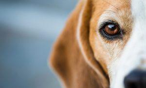 Comment nettoyer les yeux du chien ?