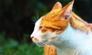Langage corporel du chat