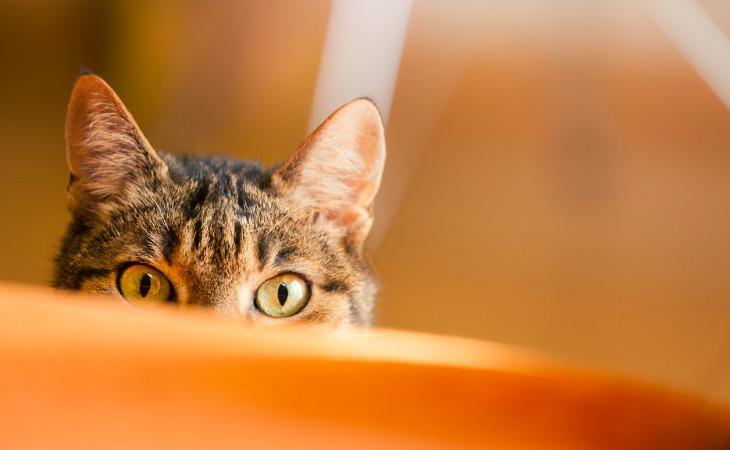 Oreilles du chat levées