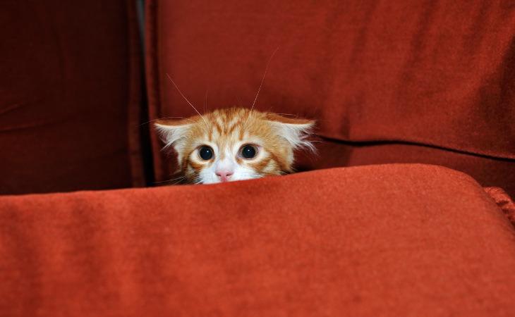 chaton roux peureux
