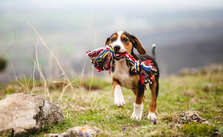 Chiot avec son jouet corde