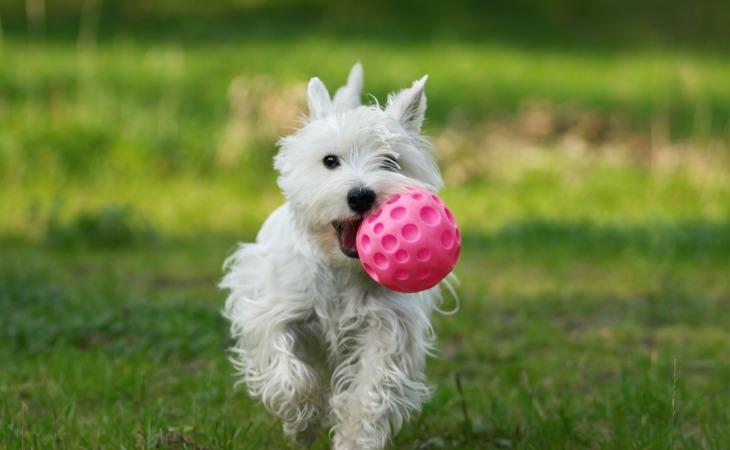 Westie qui joue à la balle